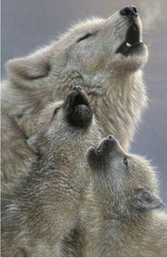 Wolves howl to tell the world their story it's a instinct for all wolves  to sing of family and life