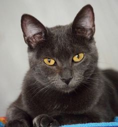 Elvira is a 1-year old, charcoal gray female cat. She has an entertaining personality and likes to be petted. Elvira is a great friend to other cats, but also plays well alone. She is spayed, vaccinated, tested and ready for a loving home. Adoption fee is $50. Apply with Another Chance Animal Welfare League Adoption Center at www.acawl.org. Call 547-7387. Go to www.redding.com for more pets.