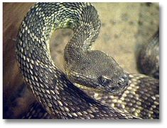 Rattlesnakes have a broad triangular head. They also have three layers of skin and have plentiful scales of multiple sizes