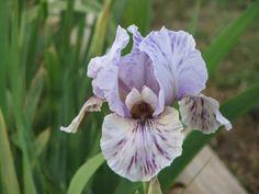 Arilbred iris 'Galilee Dawn'