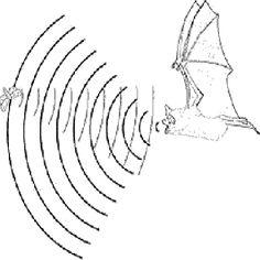 Ecolació: emissió de sons d'alta freqüència / Bat