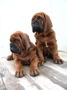The four breeds most commonly called Mastiffs are the English Mastiff, the Neapolitan Mastiff, the Bull Mastiff and the Tibetan Mastiff. Giant Dog Breeds, Giant Dogs, Big Dogs, I Love Dogs, Bloodhound Puppies, Mastiff Dogs, Cute Puppies, Cute Dogs, Dogs And Puppies