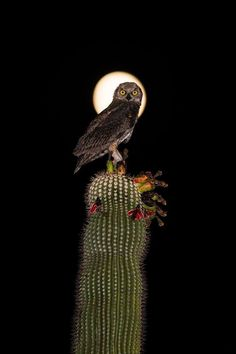 A juvenile great horned owl in Mesa, Arizona. Owl Bird, Pet Birds, Animals Of The World, Animals And Pets, Beautiful Birds, Animals Beautiful, Beautiful Moon, Barred Owl, Owl Photos