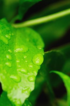 A macro image of rain drops on a perfectly colored green leaf