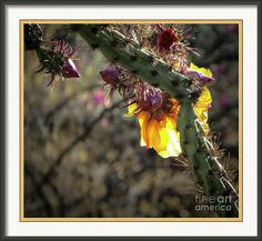 Staghorn Cholla Cactus Framed Print featuring the photograph Staghorn Cholla Cactus Sunset by Stephanie Forrer-Harbridge