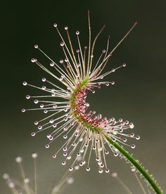 Drosera scorpioides commonly called the shaggy sundew by ramamayoor