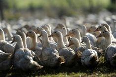 """#Grippe aviaire: nouvel accès d'un virus classé """"hautement pathogène"""" - lalibre.be: lalibre.be Grippe aviaire: nouvel accès d'un virus…"""