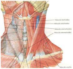 M sculos de la garganta plano superficial m sculos for Esternohioideo y esternotiroideo