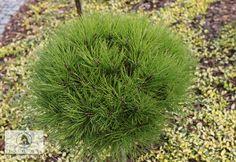 Pinus nigra 'Marie Bregeon'  -