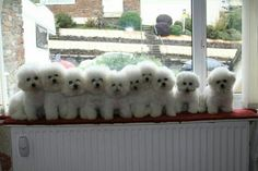 A row of bichons