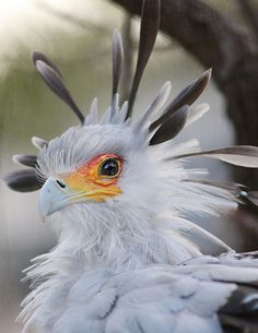 SECRETARY BIRD - The Secretarybird has traditionally been admired in Africa for its striking appearance and ability to deal with pests and snakes. Africans sometimes call it the Devil's Horse. As such it has often not been disturbed, although this is changing as traditional observances have declined. The Secretarybird is the national emblem of Sudan as well as a prominent feature on the Coat of arms of South Africa. - Wikipedia