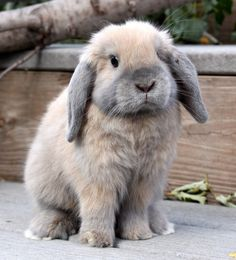 Little Holland Lop Bunny 1 Super Cute Animals, Cute Little Animals, Cute Funny Animals, Fluffy Animals, Animals And Pets, Holland Lop Bunnies, Cute Bunny Pictures, Bunny Names, Names Baby