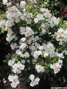 "Pruning Miniature Roses Is Easy.  This is ""Gourmet Popcorn"". #roses"