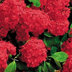 Dark Red Hydrangea Bushes | Availability: Out Of Stock
