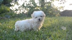 Havanese puppies for sale! Lancaster Puppies has Havanese puppies. We pair Havanese breeders with great folks like you. Get your little puppy today. Havanese Breeders, Havanese Puppies For Sale, Havanese Dogs, Cute Puppies, Cute Dogs, Funny Animals, Cute Animals, Animals Dog, Lancaster Puppies