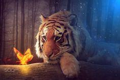 Tiger by Sergiu Pescarus on 500px