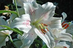 "An Oriental lily. According to a Chinese proverb, ""If you have two loaves of bread, sell one and buy a lily."""