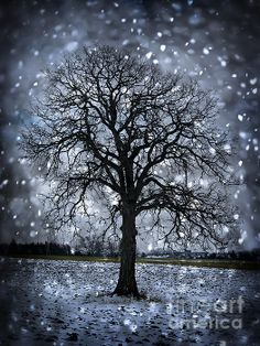 Winter tree in snowfall fine art photography print - Copyright © Elena Elisseeva