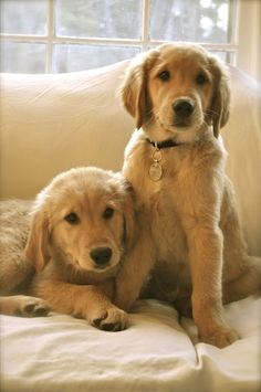Two adorable Golden Retriever puppies
