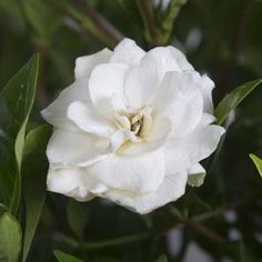 August Beauty Gardenias produce beautiful white fragrant blooms that average 3 in. With these gardenias you get a great evergreen shrub that can produce blooms spring, summer and fall. Landscaping Shrubs, Garden Shrubs, Flowering Shrubs, Garden Soil, Garden Care, Shade Garden, Evergreen Landscape, Evergreen Shrubs, Gardenias