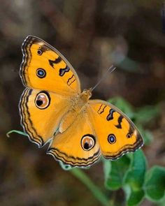 So pretty! So pretty! Butterfly Photos, Butterfly Kisses, Butterfly Wings, Beautiful Bugs, Beautiful Butterflies, Stunningly Beautiful, Beautiful Creatures, Animals Beautiful, Flying Flowers