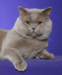 British Shorthair - Supreme Grand Champion Rejinald Lilac Prince