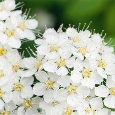 Spiraea × cinerea (White May) - Australia Flower Hedge, Types Of Soil, Hedges, May, Shrubs, White Flowers, Australia, Plants, Living Fence