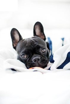 1000+ images about french bulldogs on Pinterest | French bulldogs ...