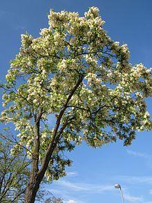Robinia pseudoacacia - Wikipedia, the free encyclopedia