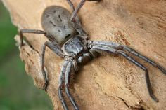 """An Australian huntsman spider has a leg span of up to 12 inches (30 centimeters), often described as being """"the size of a dinner plate.""""...uh, yikes!"""