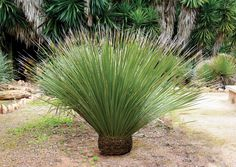 Easy Desert Landscaping Tips That Will Help You Design A Beautiful Yard Low Water Landscaping, Palm Trees Landscaping, Succulent Landscaping, Landscaping With Rocks, Modern Landscaping, Landscaping Plants, Landscaping Ideas, Modern Backyard, Agaves