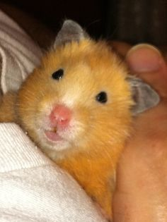 One of my many hamsters