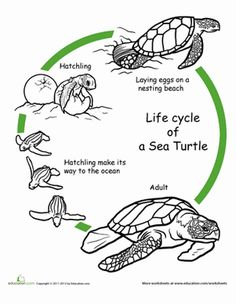 First Grade Animals Life Science Worksheets: Color the Life Cycle: Turtle