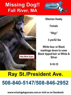 """Missing Female Siberian Husky - Fall River, MA 9-10-15  """"Skyy"""" is 2 yrs/52 lbs and is has Black tipped hair w/ White & Silver. She has blue eyes and Black markings down her nose. She is missing from the vicinity of Ray St. & President Ave(near Oak Grove Cemetery). Please share to get this girl home! #HNNow #fallriver_ma  Call: 508-840-5147 or 508-846-2952"""