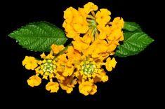 Lantana camara yellow flowers Photo by Sis Jimbo — National Geographic Your Shot