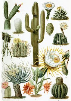 "A cactus [3] is a member of the plant family Cactaceae,[Note 1] a family comprising about 127 genera with some 1750 known species of the order Caryophyllales.[4] The word ""cactus"" derives, through Latin, from the Ancient Greek κάκτος, kaktos, a name originally used by Theophrastus for a spiny plant whose identity is not certain.[5] Cacti occur in a wide range of shapes and sizes. Most cacti live in habitats subject to at least some drought. Many live in extremely dry environments, e..."