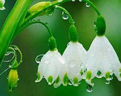 Цветы; капли росы