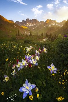 American Columbine by Tyler Porter on 500px