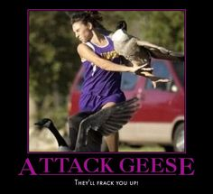 Attack Geese!
