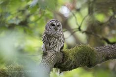 Barred Owl by grzegorz_lis1 #animals #animal #pet #pets #animales #animallovers #photooftheday #amazing #picoftheday