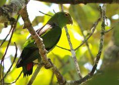 Brown-backed Parrotlet (Touit melanonota) Brown-backed Parrotlet in Ubatuba. © Elis Simpson