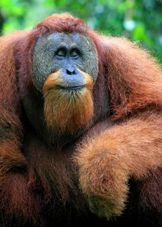 Orangutan by Rob Kroenert