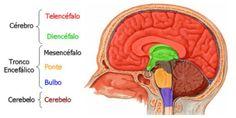 División principal del cerebro en tres partes, que estás a su vez se subdividen quedando un total de seis partes. Estan han surgido a lo largo de las diferentes fases que tienen lugar en la formación del desarrollo del cerebro.  diencefalo - Buscar con Google. (2017). Google.es. Retrieved 25 May 2017, from https://www.google.es/search?q=diencefalo&espv=2&biw=1093&bih=534&source=lnms&tbm=isch&sa=X&ved=0ahUKEwjP55rn3sDKAhWEUBQKHfqYCHQQ_AUIBigB&dpr=1.25#imgrc=FirTA_12Ii0bcM: