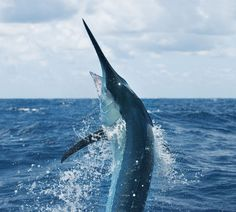 black marlin jumping out water