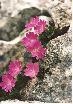 Rock Flowers, Wild Flowers, Beautiful Flowers, Alpine Flowers, Alpine Plants, Plantes Alpines, Rock Plants, Bloom Where Youre Planted, Primroses