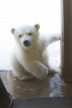 So Cute! Bear Photos, Bear Pictures, Cute Animal Pictures, Cute Baby Animals, Animals And Pets, Funny Animals, Wild Animals, Beautiful Creatures, Animals Beautiful