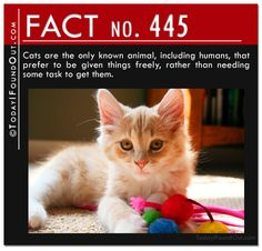 Cats are the only known animal, including humans, that prefer to be given things freely, rather than needing some task to get them