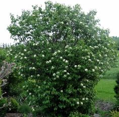 Viburnum lentago 'Nannyberry', $16.95 - a native species Viburnum grows as a tall, narrow shrub or small tree. In late spring it produces small, white flowers in flat-topped clusters. The edible fruits are bluish-black in drooping clusters that stay on the plant all winter if they aren't eaten by birds.