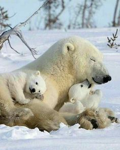 Polar bear with cubs Nature Animals, Animals And Pets, Wild Animals, Cute Baby Animals, Funny Animals, Baby Panda Bears, Bear Cubs, Grizzly Bears, Tiger Cubs