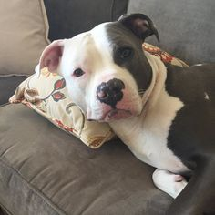 Razor Edge Pitbulls - The Phenomenal and Amazing Bully Dog Breed Cute Puppies, Cute Dogs, Dogs And Puppies, Doggies, Beautiful Dogs, Animals Beautiful, Cute Baby Animals, Animals And Pets, Pitbulls